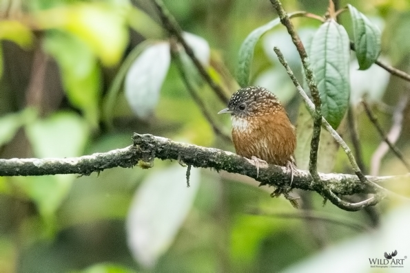 Bar-winged Wren-Babbler
