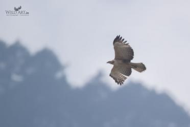 Mountain Hawk-eagle