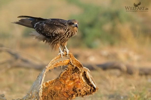 Black-eared Kite
