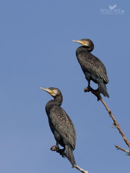 Cormorants (Phalacrocoracidae)