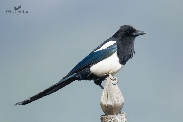 Black-rumped Magpie