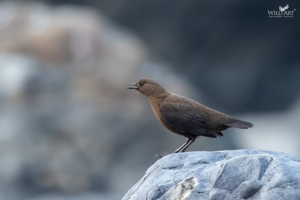 Dippers (Cinclidae)