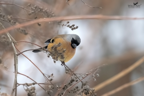 Orange Bullfinch