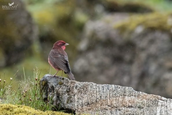 Dark-breasted Rosefinch