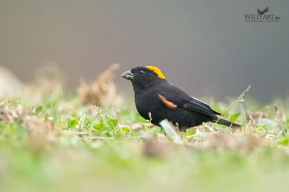 Golden-naped Finch
