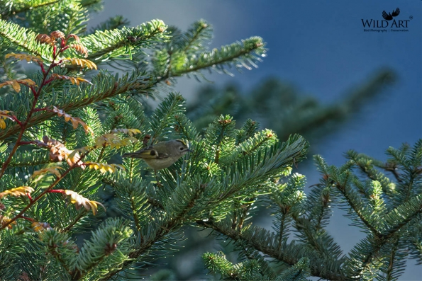 Goldcrest (Regulidae)