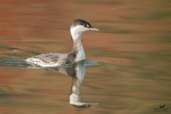 Grebes (Podicipedidae)