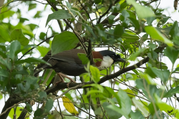 Chestnut-backed Laughingthrush