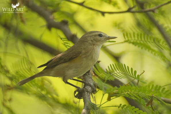 Leaf Warblers & Allies (Phylloscopidae)
