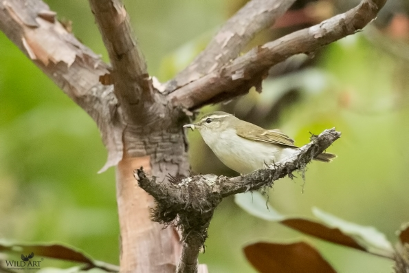 Large-billed Leaf Warbler