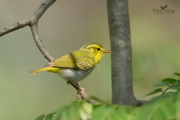 Yellow-vented Warbler