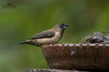 Black-throated Munia