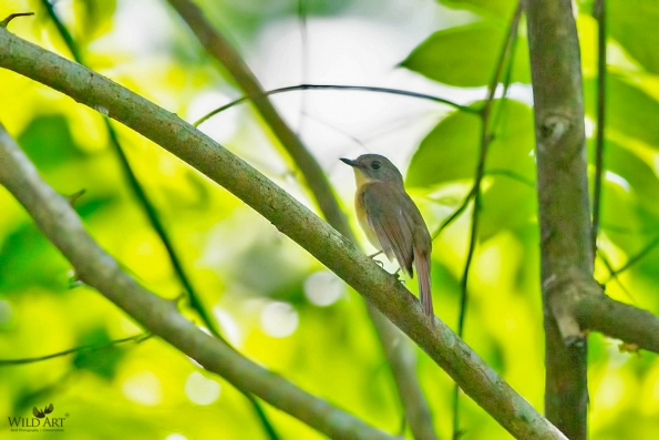Pale-chinned Blue Flycatcher