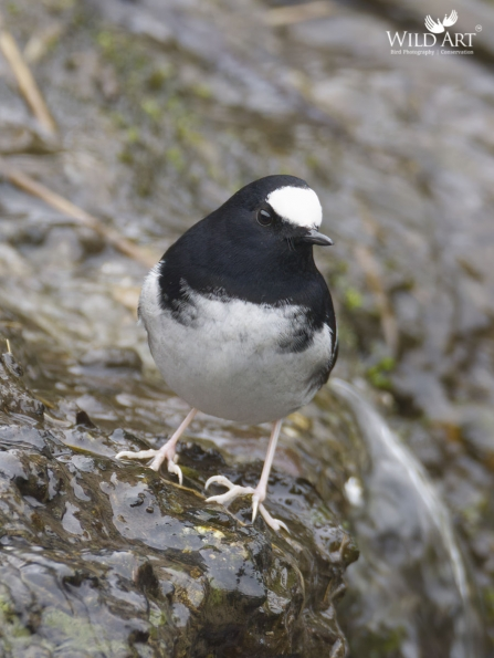 Little Forktail