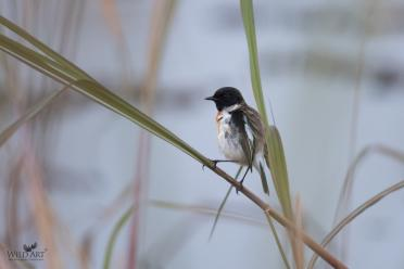 White-tailed Stonechat