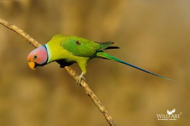 Old World Parrots (Psittaculidae)
