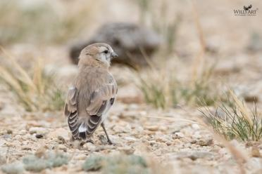 Old World Sparrows, Snowfinches (Passeridae)