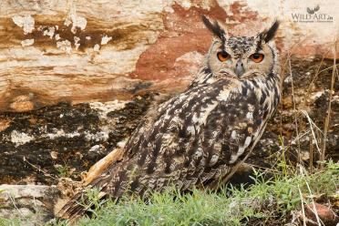 Indian Eagle-Owl