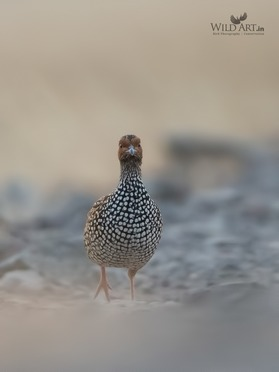 Painted Francolin