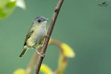 Green Shrike-Babbler