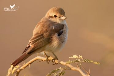 Rufous-tailed Shrike