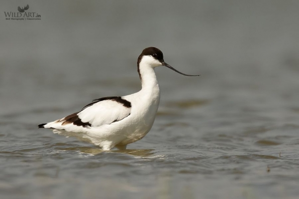 Stilts, Avocets (Recurvirostridae)