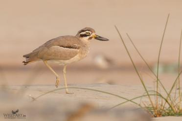 Great Stone-curlew