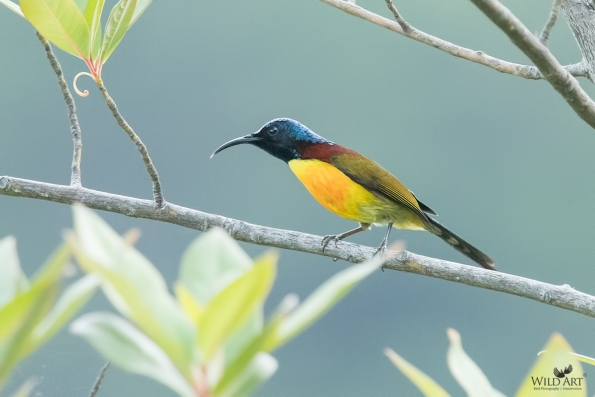 Green-tailed Sunbird