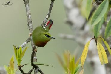 Fire-tailed Myzornis