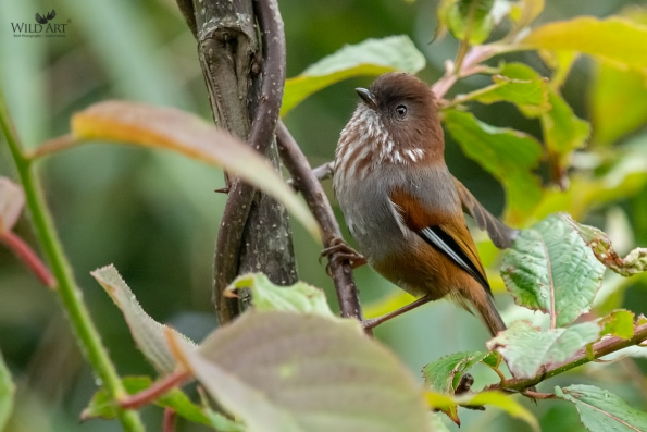 Brown-throated Fulvetta