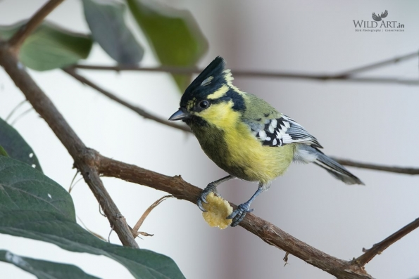 Indian Yellow Tit
