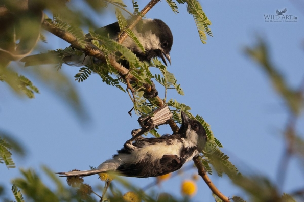 White-naped Tit