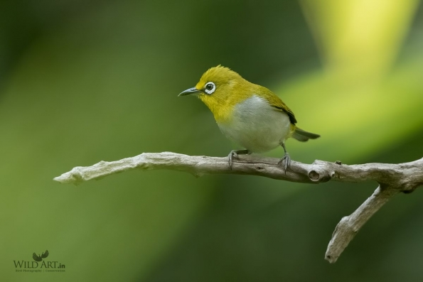 White-eyes (Zosteropidae)