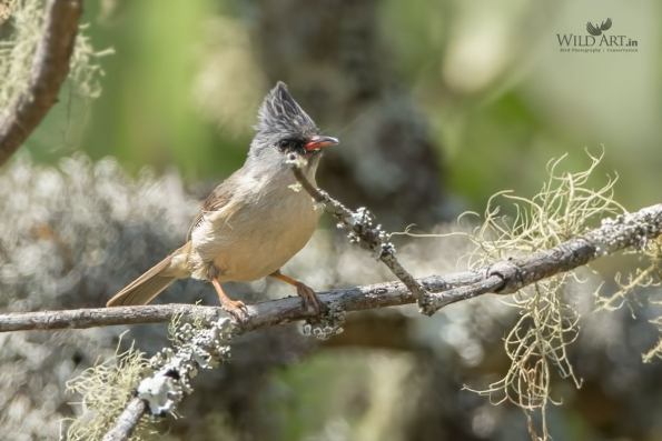 Black-chinned Yuhina