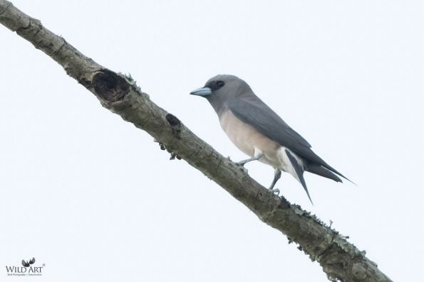 Woodswallows (Artamidae)