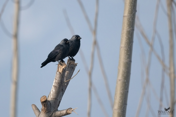 Crows, Jays (Corvidae)