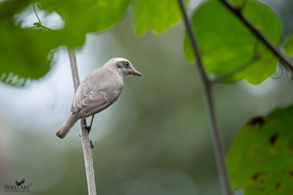 Woodshrikes, Flycatcher-shrikes (Vangidae)